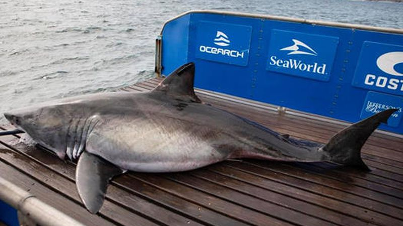 Mahone, a 13-foot great white weighing more than 1,700 pounds, pinged near Myrtle Beach on Jan....