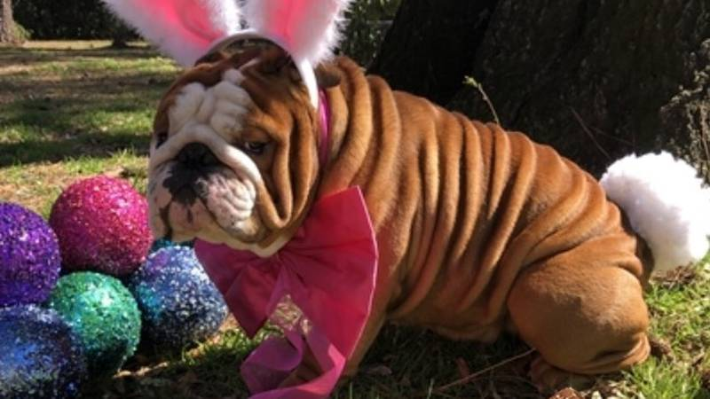 Henri the English Bulldog, from Wilmington, is a semi-finalist in the running to become the...