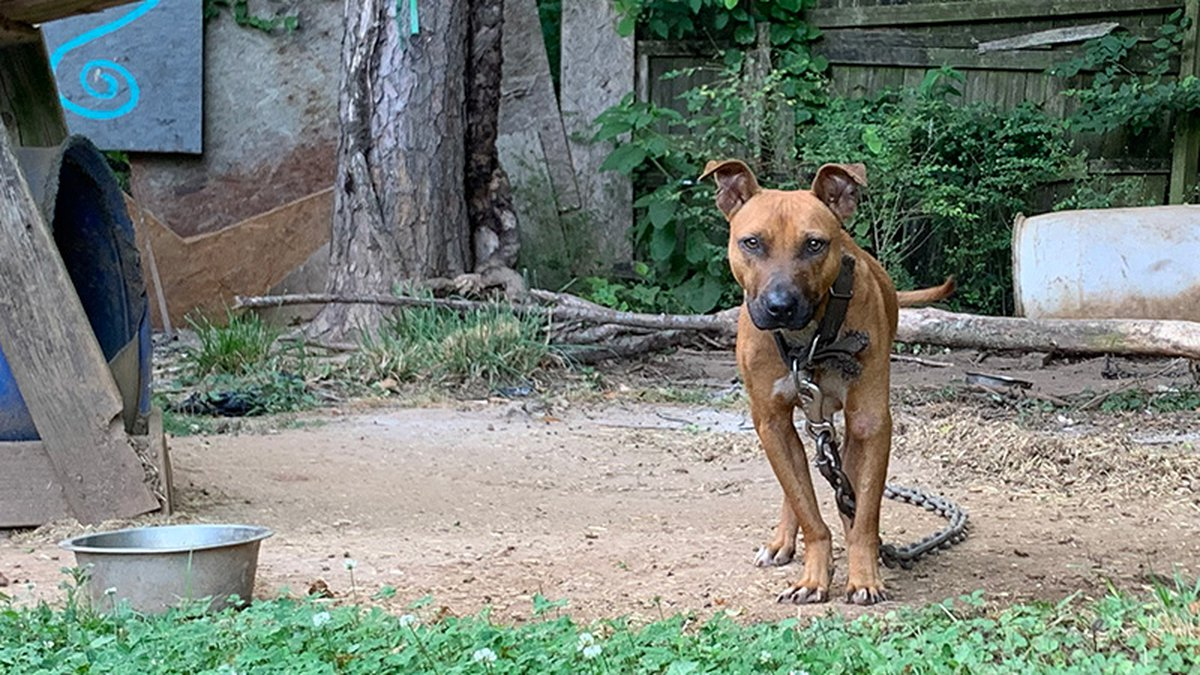 Dogs were rescued from an alleged dogfighting operation in Gaston County