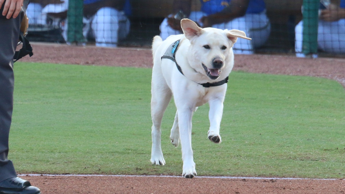 The Myrtle Beach Pelicans said Thursday that their bat dog, Slider, will miss some time after...