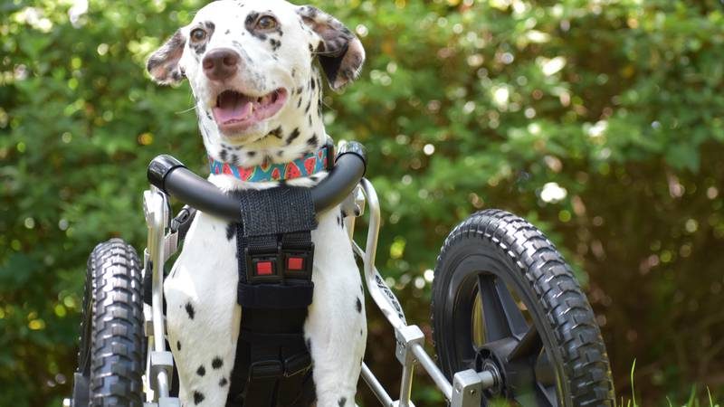 Dalmation, Emma Roo, was rescued from a meat trade in China and now lives with her dog owner in...