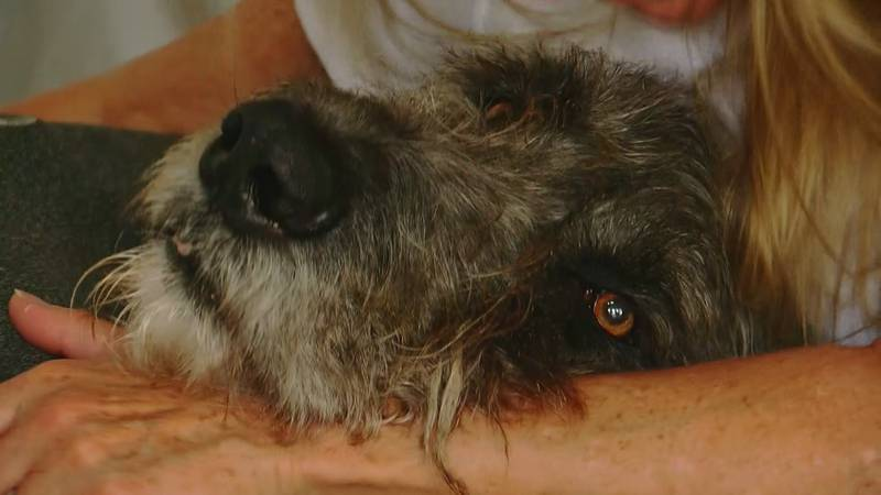 Merlin the Irish Wolfhound is on the mend at home in his custom-built bed.  His dad, Zack, is...
