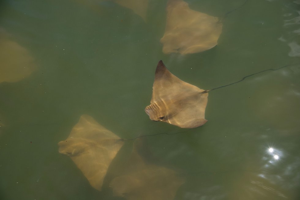 According to officials, in the summer, millions of these rays migrate from Florida to the...