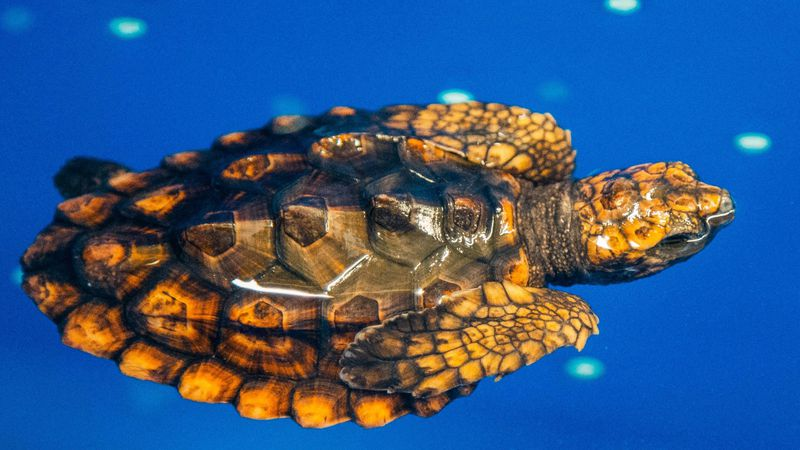 One of two hatchling loggerhead sea turtles in the care of the N.C. Aquarium at Fort Fisher....