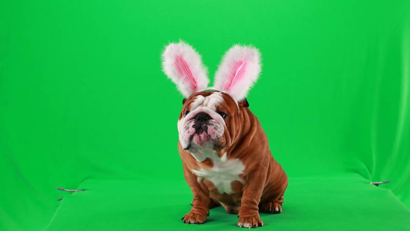 """A behind-the-scenes look at Henri during the shooting of Cadbury's """"Clucking Bunny"""" commercial...."""