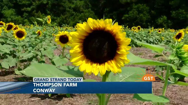 Sunflower Festival at Thompson Farm