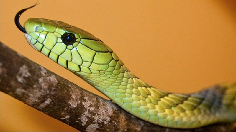 The Green Mamba snake is shy, but it is quick and highly venomous.