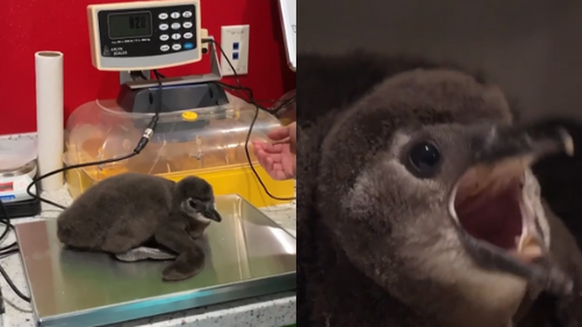 Ripley's Aquarium of Myrtle Beach has welcomed its first penguin chick.
